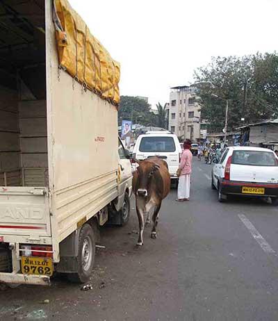 Cow wandering street