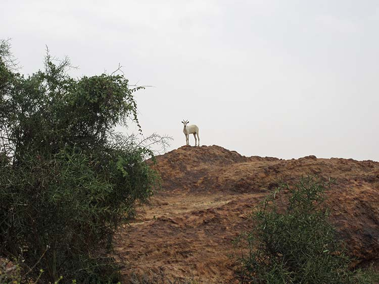 Goat on top of hill