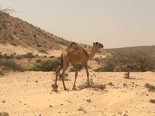 Camel in Somaliland desert