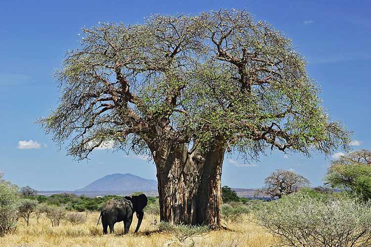 Baobab tree with elephant underneath