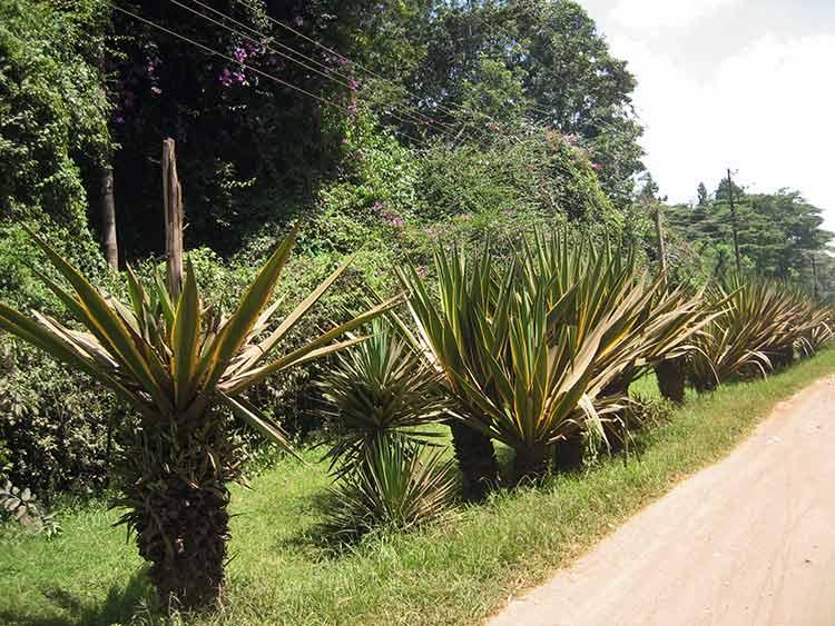 Kenyan plants