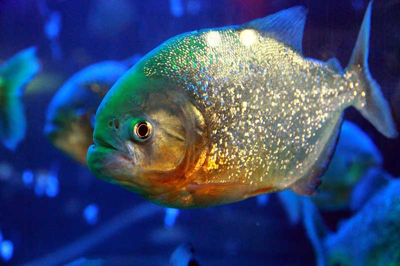 Reb-bellied piranha