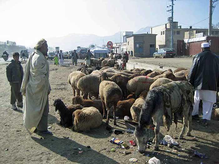 Sheep on Kabul street