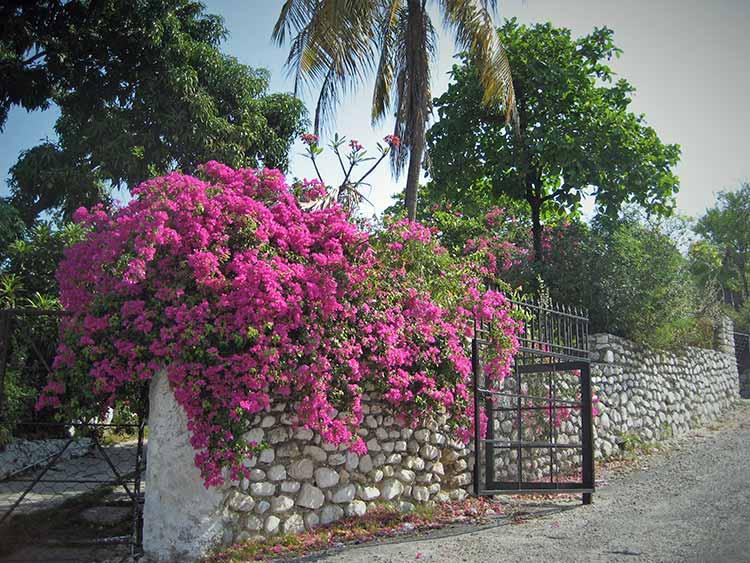Stone wall & bougainvillea