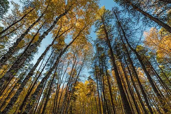 Woods of northern Minnesota